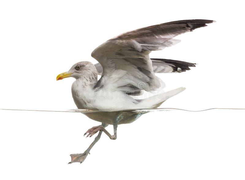 European Herring Gull landing on the water, stock photo
