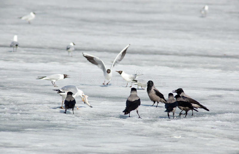 Download European Herring Gull, Larus Argentatus Stock Image - Image: 15458123