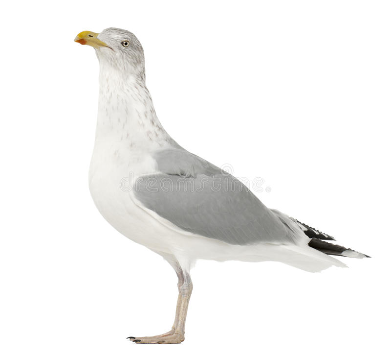 Download European Herring Gull, Larus Argentatus Stock Images - Image: 25101494