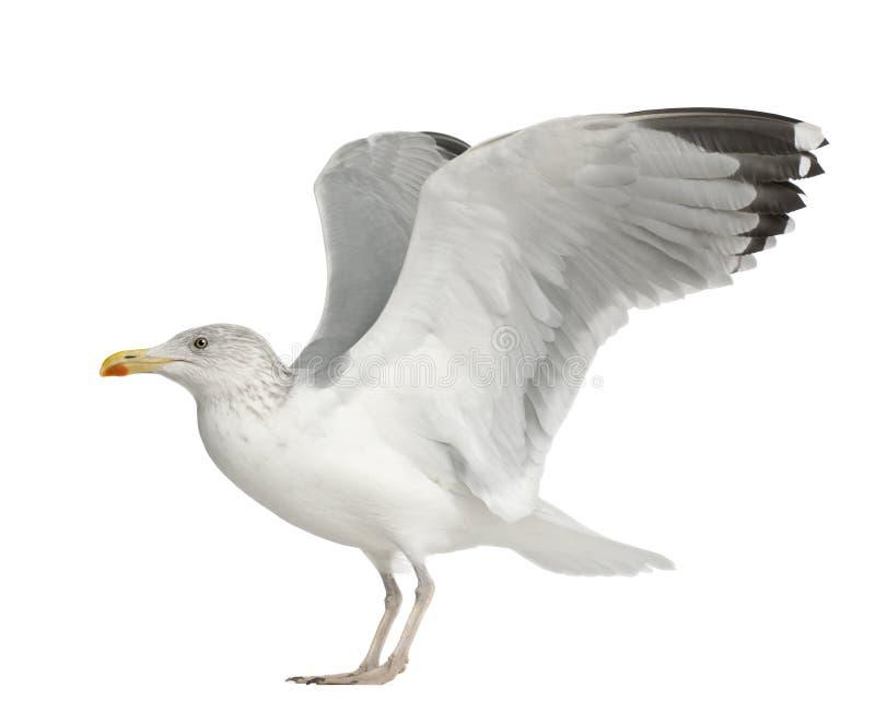 Download European Herring Gull, Larus Argentatus Stock Image - Image: 25101511