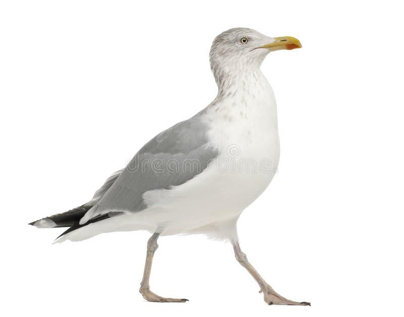 European Herring Gull, Larus argentatus. 4 years old, standing against white background royalty free stock photos