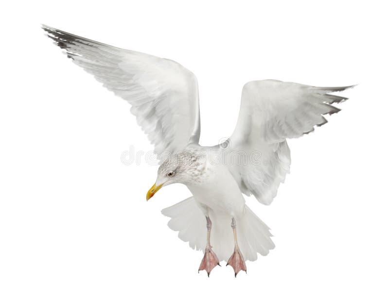 European Herring Gull, Larus argentatus. 4 years old, flying against white background royalty free stock photo