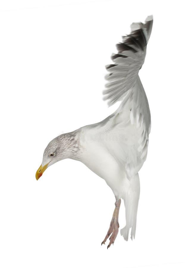 Download European Herring Gull, Larus Argentatus Stock Photo - Image: 25101610