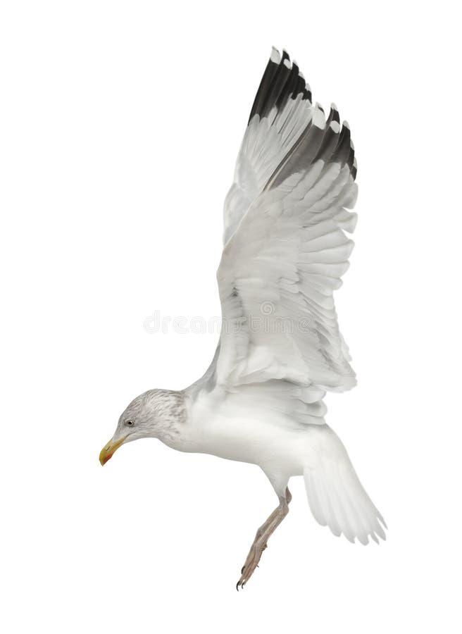 European Herring Gull, Larus argentatus. 4 years old, flying against white background royalty free stock image
