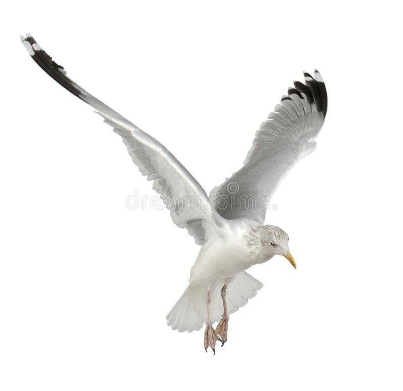 European Herring Gull, Larus argentatus. 4 years old, flying against white background stock photography