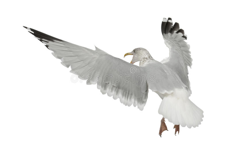 Download European Herring Gull, Larus Argentatus Stock Image - Image of animal, european: 25101669