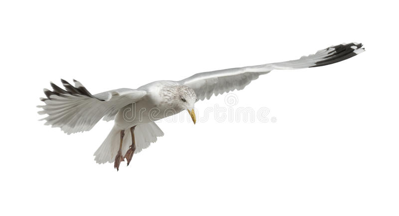 European Herring Gull, Larus Argentatus Royalty Free Stock Image