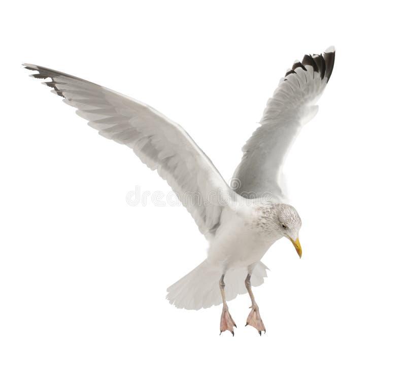 Download European Herring Gull, Larus Argentatus Stock Image - Image of grey, down: 25515981