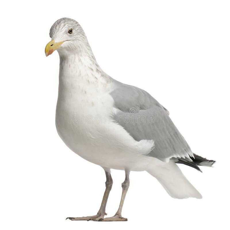 Download European Herring Gull, Larus Argentatus Stock Image - Image of isolated, side: 26424061