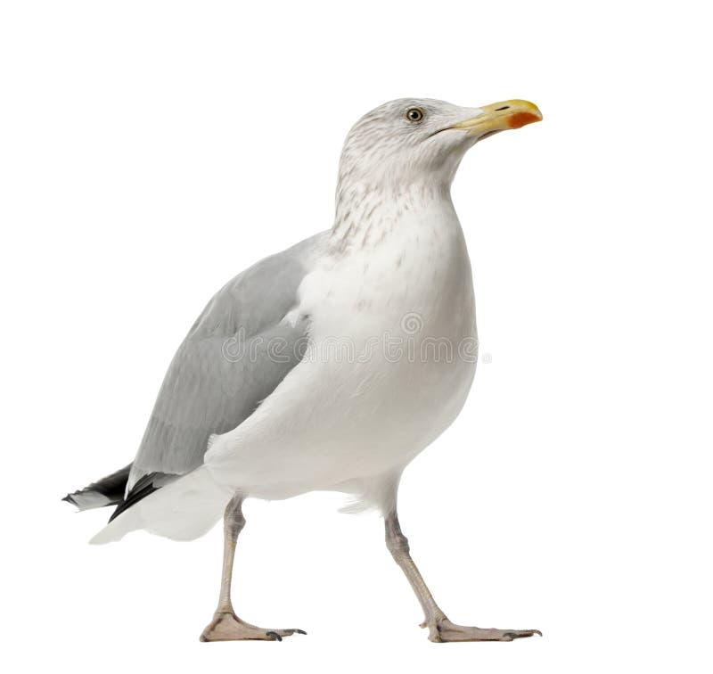 European Herring Gull, Larus argentatus royalty free stock photo
