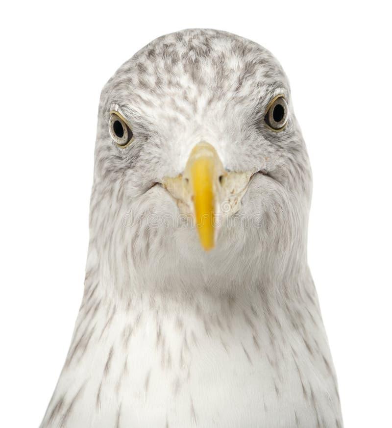 Download European Herring Gull, Larus Argentatus Stock Image - Image of portrait, view: 26424085