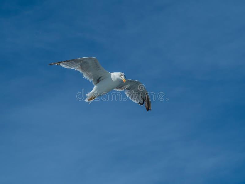 European herring gull, Larus argentatus. Overwintering in Galicia, Spain. Adult European herring gull, Larus argentatus, in flight, cloudy blue sky royalty free stock image