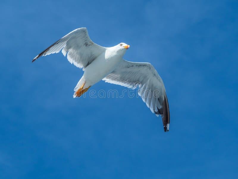European herring gull, Larus argentatus. Overwintering in Galicia, Spain. Adult European herring gull, Larus argentatus, in flight, cloudy blue sky royalty free stock photos