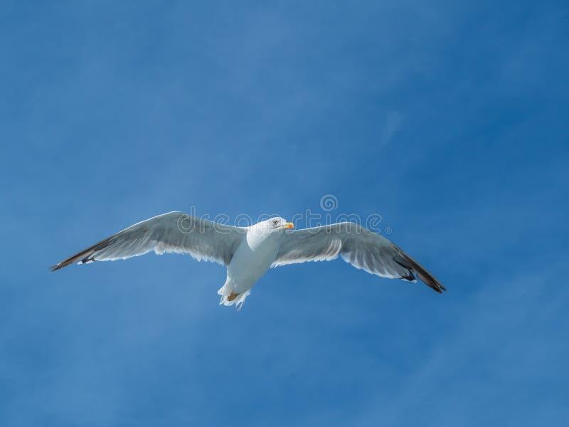 European herring gull, Larus argentatus. Overwintering in Galicia, Spain. Adult European herring gull, Larus argentatus, in flight, cloudy blue sky stock photo