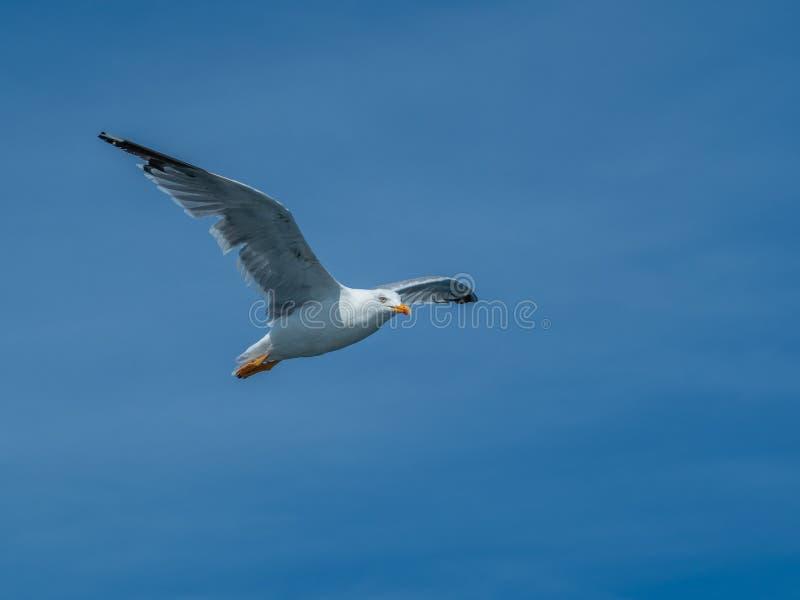 European herring gull, Larus argentatus. Overwintering in Galicia, Spain. Adult European herring gull, Larus argentatus, in flight, cloudy blue sky stock photos