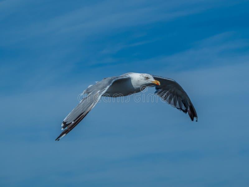 European herring gull, Larus argentatus. Overwintering in Galicia, Spain. Adult European herring gull, Larus argentatus, in flight, cloudy blue sky stock images