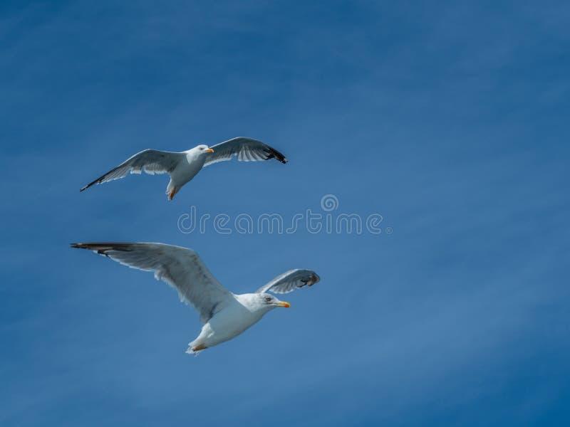 European herring gull, Larus argentatus. Overwintering in Galicia, Spain. Adult European herring gulls, Larus argentatus, in flight, cloudy blue sky royalty free stock photography