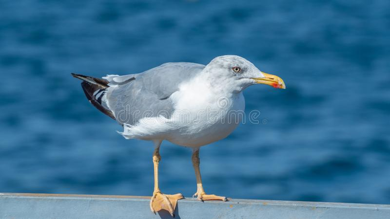 European herring gull, Larus argentatus. Overwintering in Galicia, Spain. Adult European herring gull, Larus argentatus, on metal railing with sea in background royalty free stock images