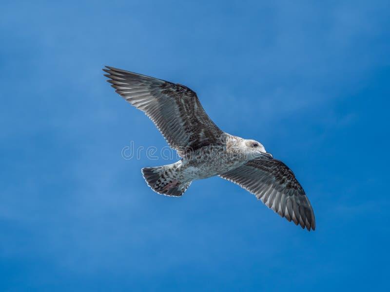 European herring gull, Larus argentatus. Overwintering in Galicia, Spain. Juvenile European herring gull, Larus argentatus, in flight, cloudy blue sky stock images