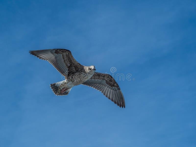 European herring gull, Larus argentatus. Overwintering in Galicia, Spain. Juvenile European herring gull, Larus argentatus, in flight, cloudy blue sky stock photography