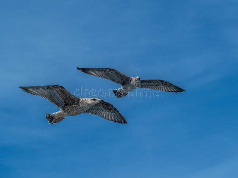 European herring gull, Larus argentatus. Overwintering in Galicia, Spain. Juvenile European herring gulls, Larus argentatus, in flight, cloudy blue sky stock photos