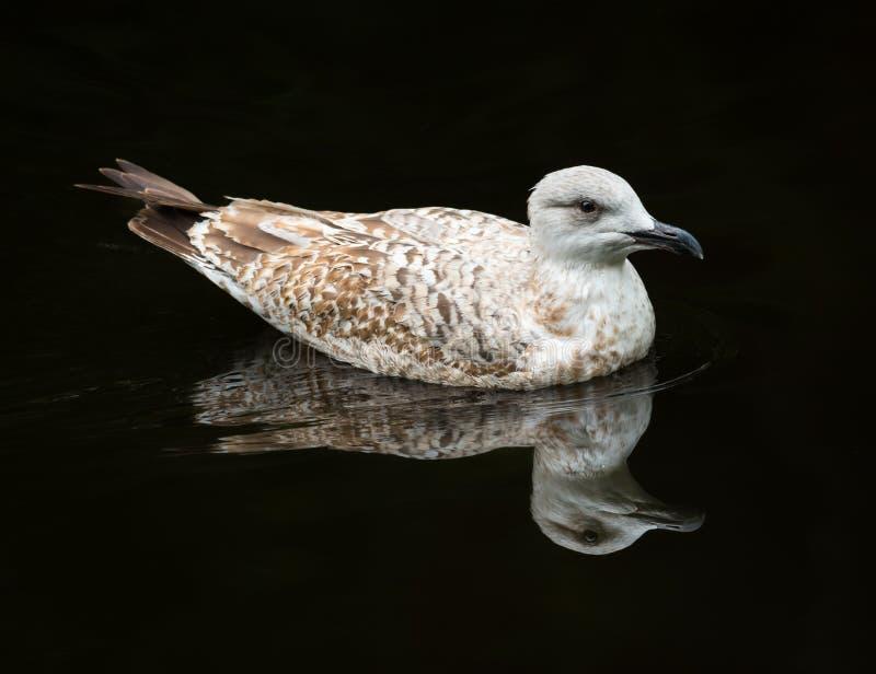 European herring gull Larus argentatus with reflection on the water, dark background stock photo