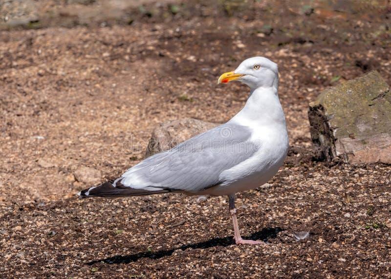 European Herring Gull - Larus argentatus at rest. stock photo