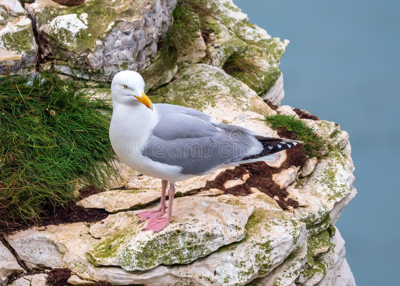 European Herring Gull - Larus argentatus at rest, Yorkshire. European Herring Gull - Larus argentatus in summer plumage resting on the cliff face at RSPB royalty free stock images