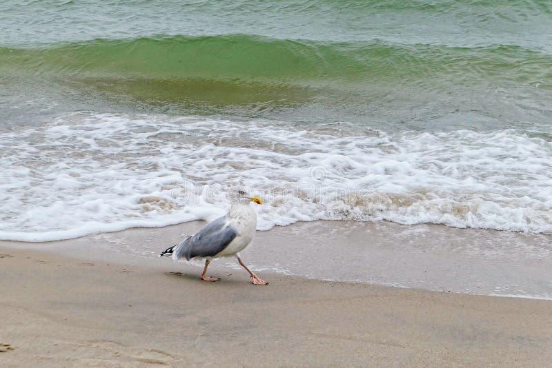 European herring gull Larus argentatus walking in water of baltic sea royalty free stock photography