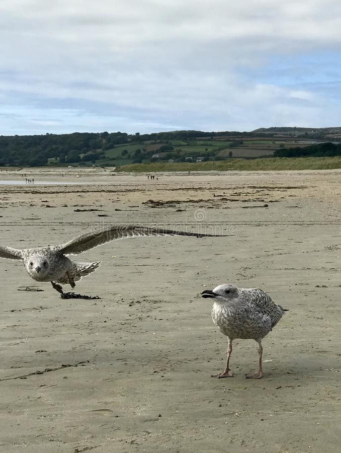 European herring gull stock image