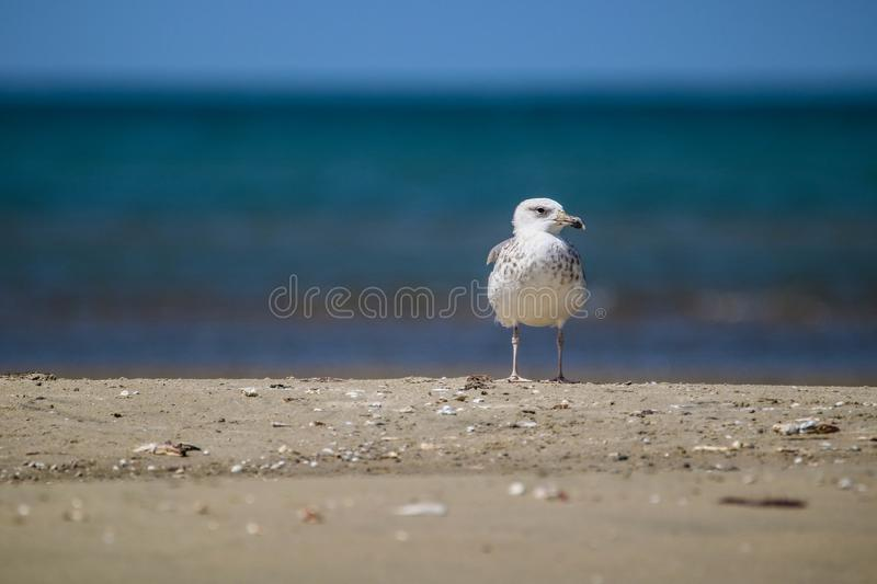 European herring Gull in white and brown standing on the beach stock photography