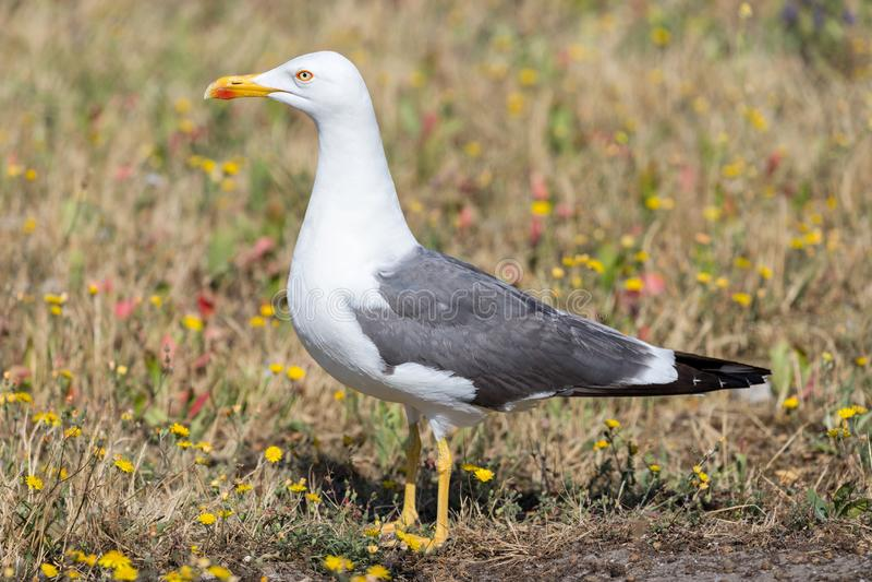 European herring gull royalty free stock photography