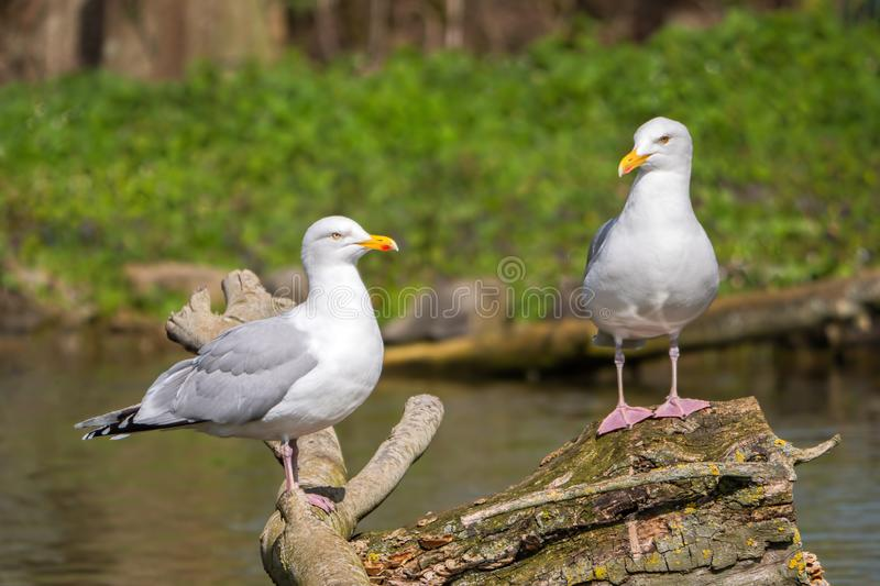 European Herring Gulls - Larus argentatus perched on a log.. European Herring Gulls - Larus argentatus in summer plumage perched on a log showing their pink stock photography