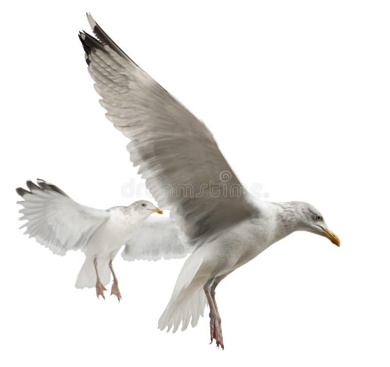 Download European Herring Gulls, Larus Argentatus Royalty Free Stock Photo - Image: 25101675