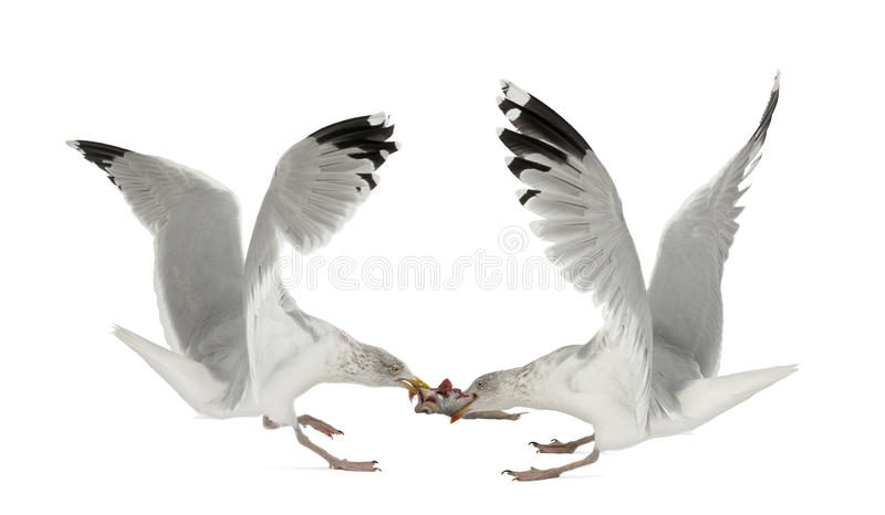 Download European Herring Gulls, Larus Argentatus Stock Photo - Image: 25101760