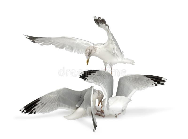 European Herring Gulls, Larus argentatus