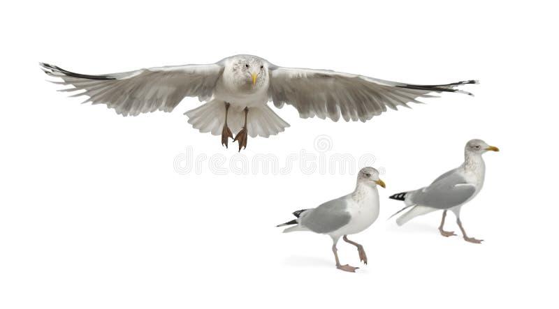 European Herring Gulls, Larus Argentatus Royalty Free Stock Photo