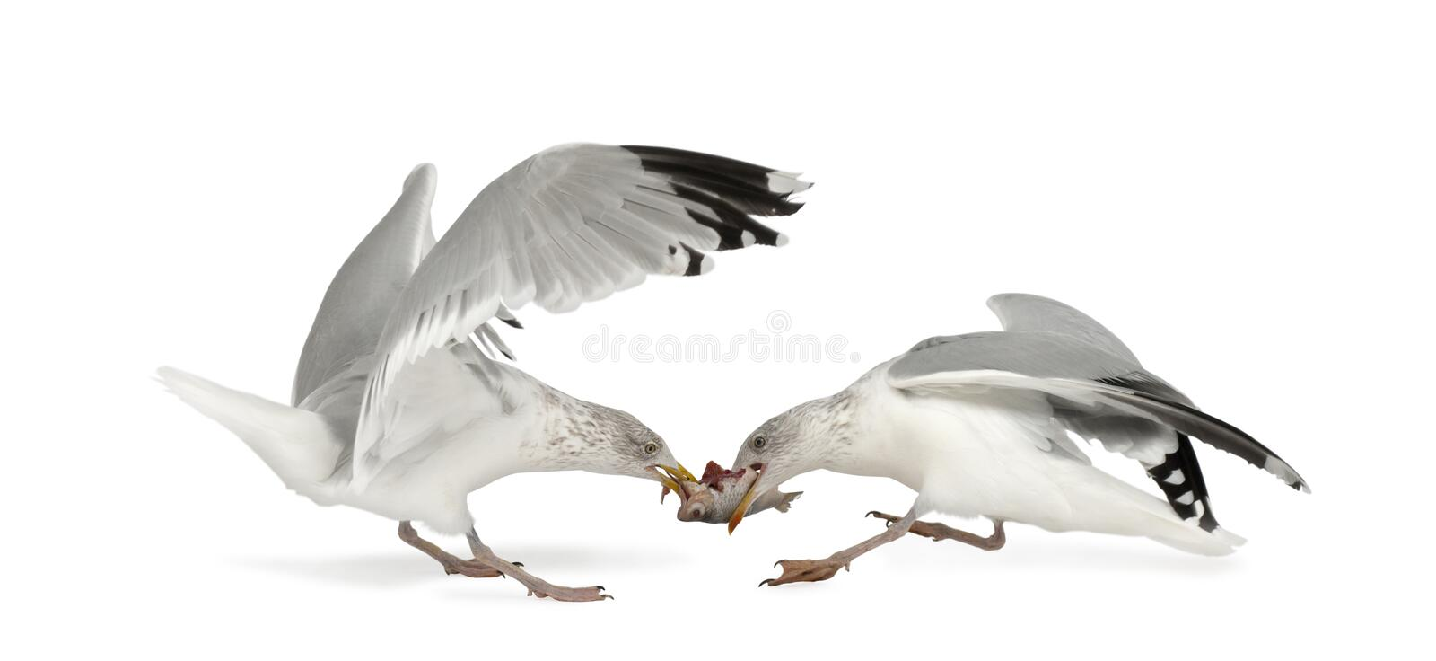 European Herring Gulls, Larus argentatus. 4 years old, fighting over fish flying against white background royalty free stock images
