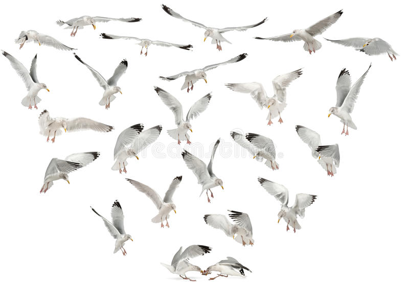 Download European Herring Gulls, Larus Argentatus Stock Photo - Image: 26424520