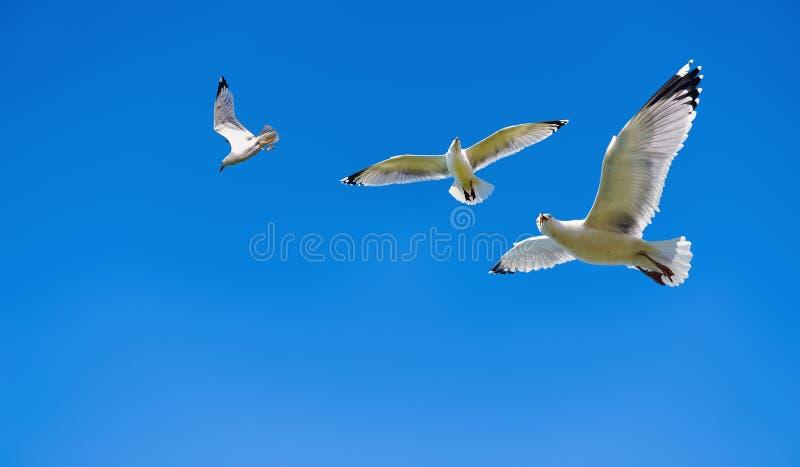 European herring gulls royalty free stock image
