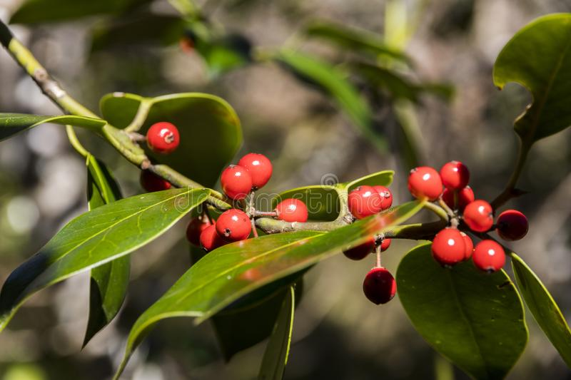 European holly foliage with berries. Asturias, Spain. European holly Ilex aquifolium foliage with red berries at the Muniellos nature reserve royalty free stock photo