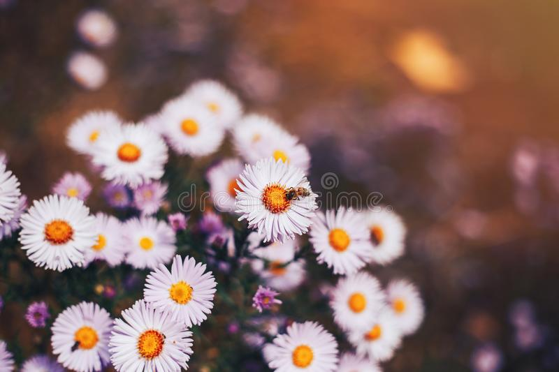 European honey bee Apis mellifera on aster flower stock photography