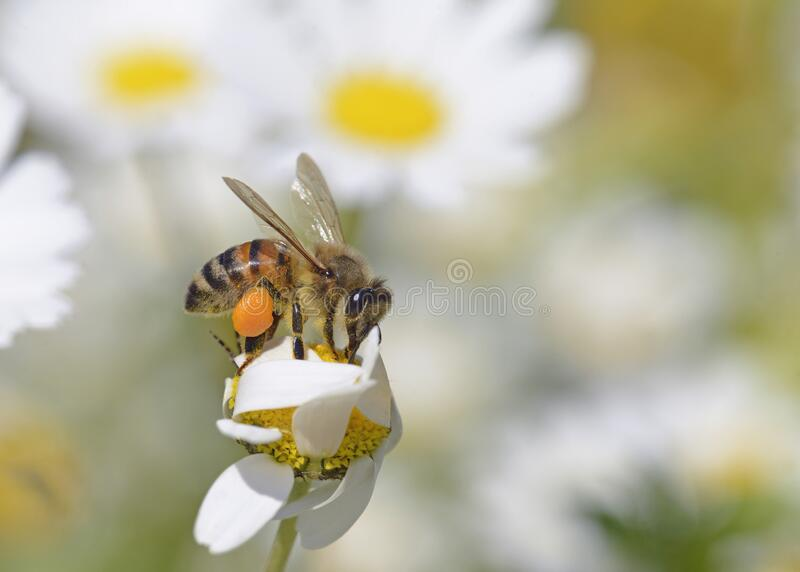 European honey bee, Crete. European honey bee - Apis mellifera, Crete royalty free stock photo