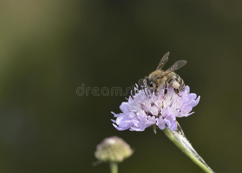 European honey bee, Crete. European honey bee - Apis mellifera, Crete royalty free stock image