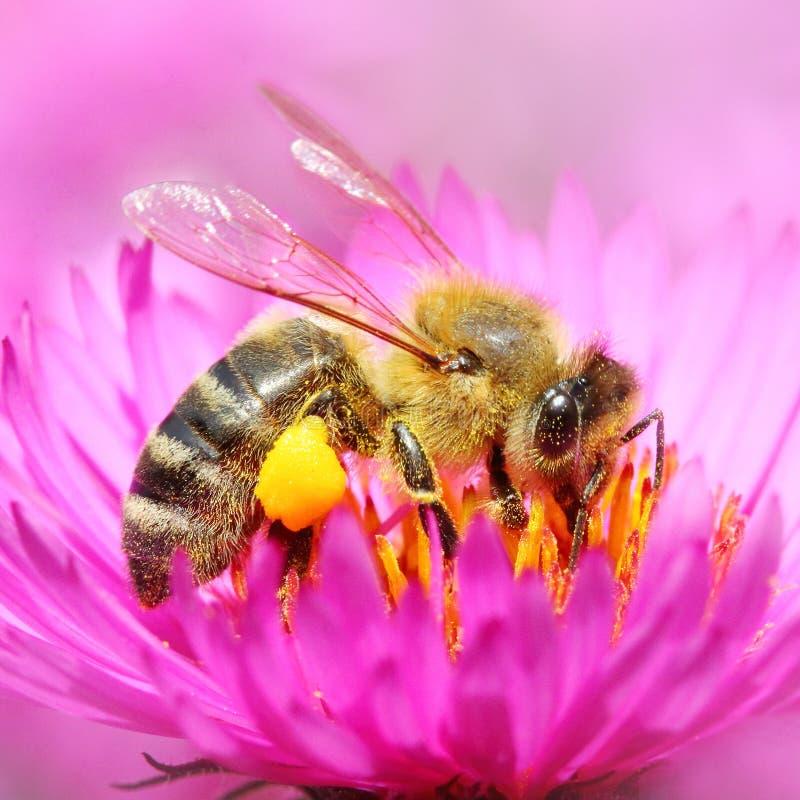 The European honey bee. royalty free stock photo