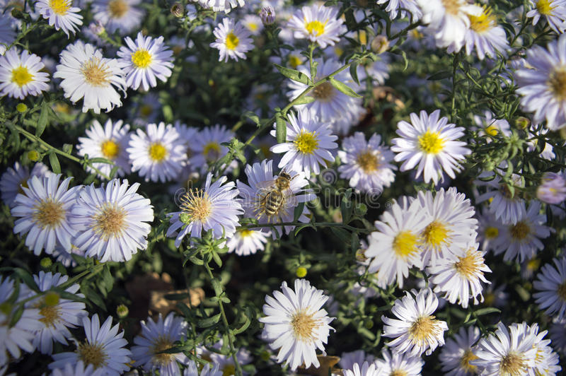 European honey bee on aster flower stock image
