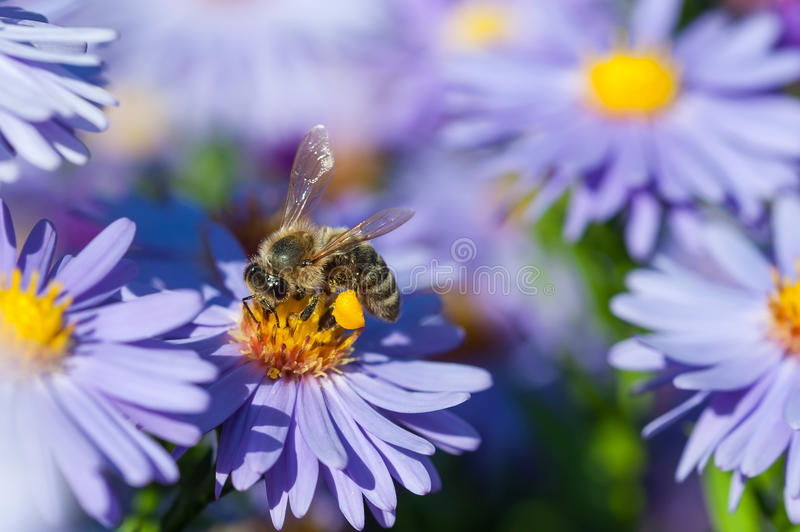 European honey bee on aster flower royalty free stock image