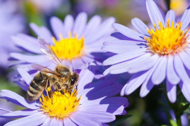 European honey bee on aster flower royalty free stock photography