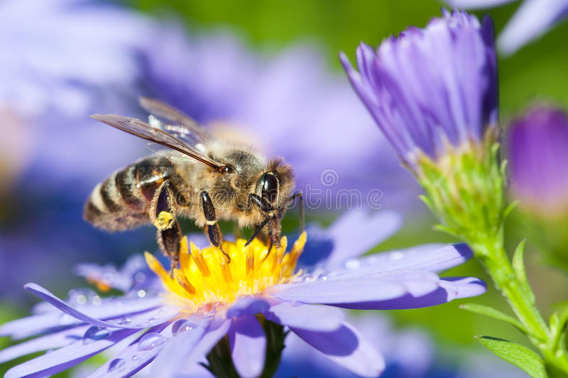European honey bee on aster flower stock photo