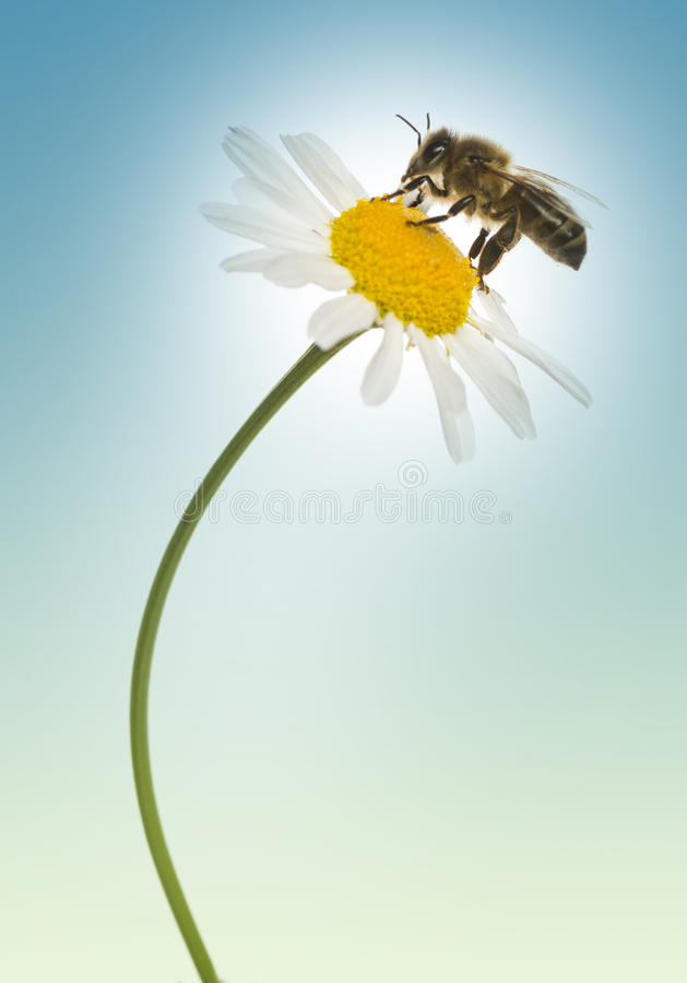 Free European Honey Bee Gathering Pollen On A Daisy, Apis Mellifera, Royalty Free Stock Image - 37451706